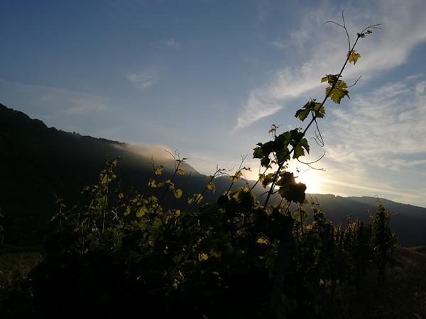Sonnenaufgang Weinberg