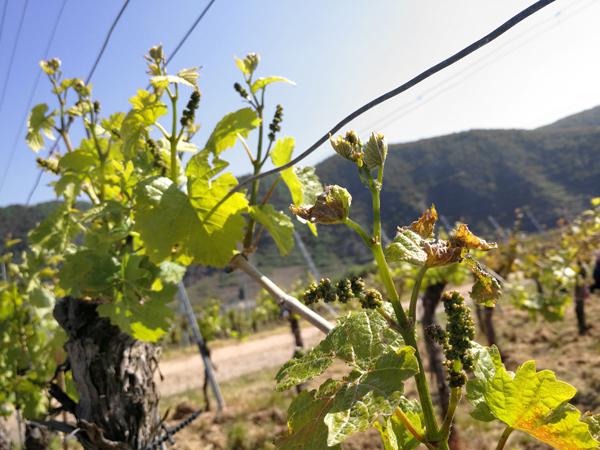 Frostschaden Weinreben