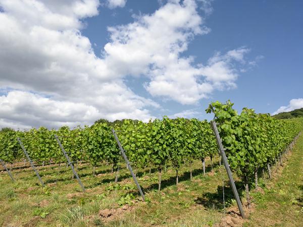 Laubwand Weinreben