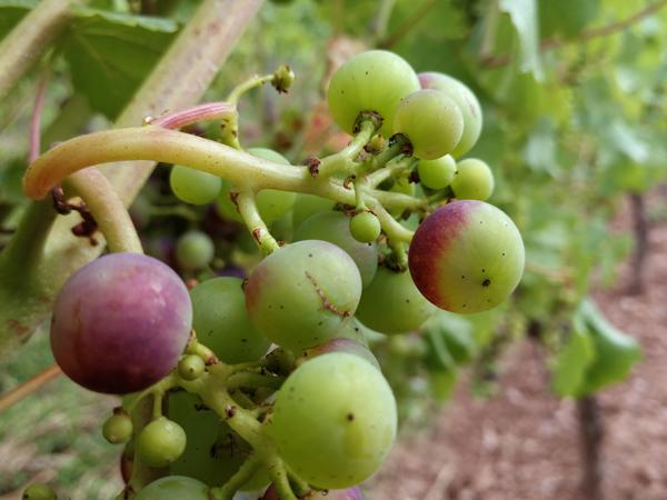 Beeren beginnen umzufärben
