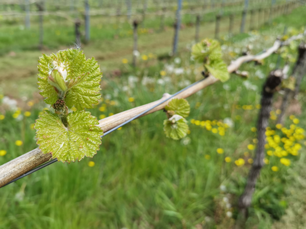 Riesling junger Trieb