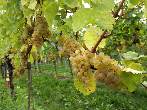 Riesling lesereif